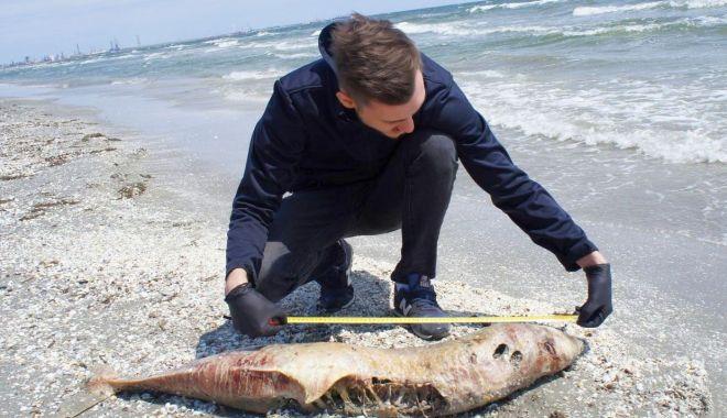 Alarmant! Zeci de delfini eșuați pe țărm, numai luna aceasta - fonddelfiniesuati-1597763500.jpg