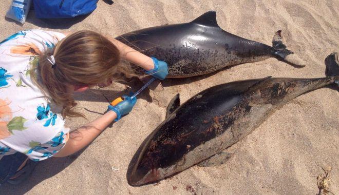 Alarmant! Zeci de delfini eșuați pe țărm, numai luna aceasta - fonddelfiniesuati2-1597763476.jpg