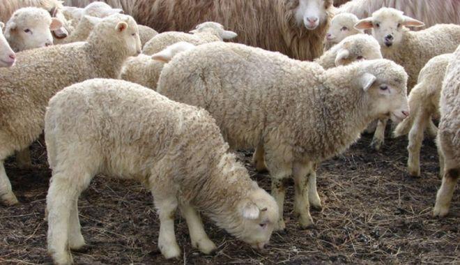 Vom avea carne de Paște? Mieii româneşti, la mare căutare în ţările arabe - fondmieiiromanesti-1614624553.jpg