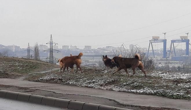 Haitele de maidanezi pun stăpânire pe străzile Constanței - fondprintcainimaidanezi3-1610547860.jpg