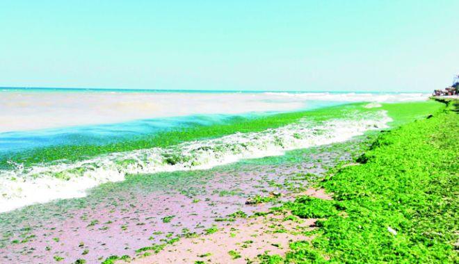 Plajele, invadate de alge.