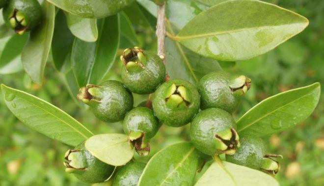 Foto: Frunzele de guava vă salvează podoaba capilară