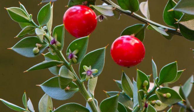 Ghimpele pădureț ajută la îmbunătățirea circulației sângelui - ghimpelepaduret-1628080974.jpg