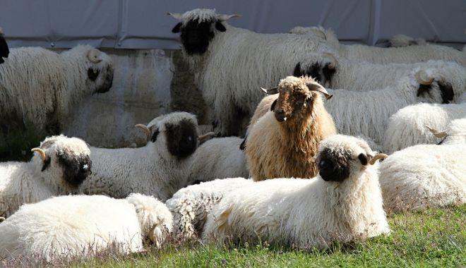 Guvernul a prelungit schema de ajutor de stat pentru creşterea animalelor - guvernulaprelungit-1623347944.jpg