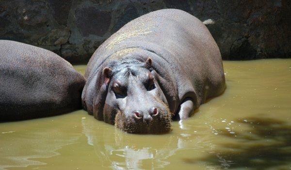 Foto: Turist omorât de ... un hipopotam!