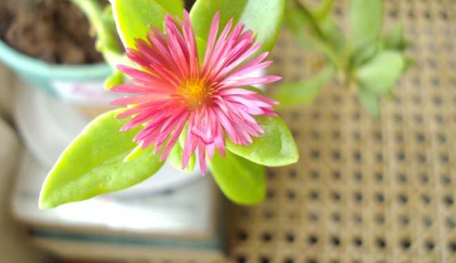 Foto: Plantele de apartament pot avea şi efecte adverse!