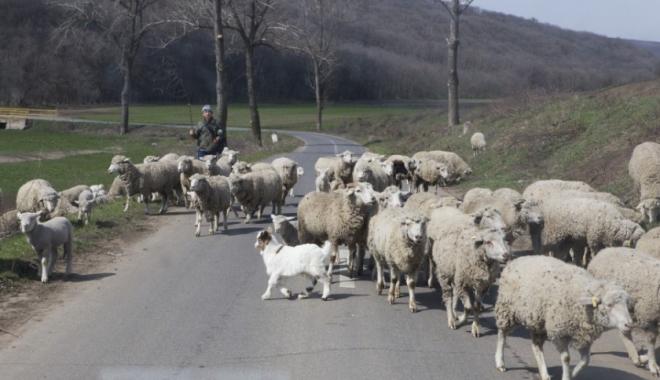 Foto: SCENE DE GROAZĂ! Turmă de oi spulberată de o şoferiţă. 20 de animale au fost ucise pe loc