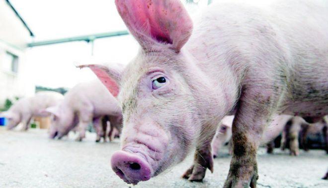 Foto: Importurile ilegale de porci vii, produsele din carne şi biosecuritatea scăzută în exploataţii
