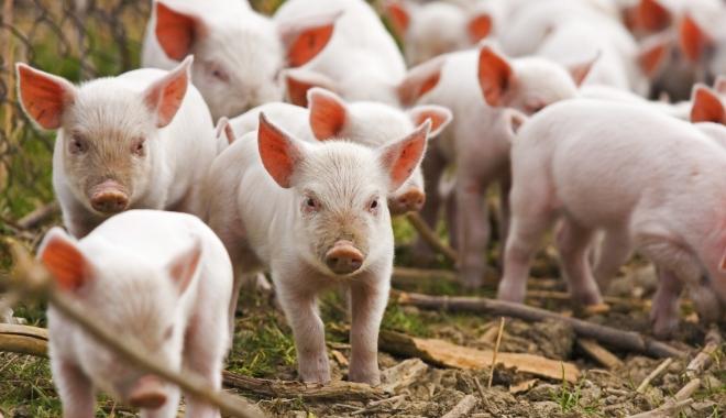 Foto: În atenția crescătorilor de porci și păsări