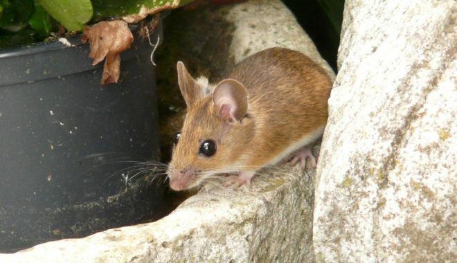 Disperare maximă! Invazie de şoareci în Australia - invaziedesoareci-1621964516.jpg