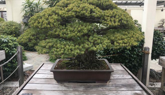 Foto: Jaf într-o grădină de bonsai. Hoţul a furat un exemplar în valoare de aproape 100.000 de dolari