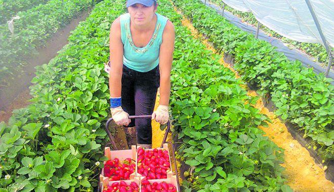 Foto: Joburi în străinătate. Se caută muncitori necalificaţi în agricultură