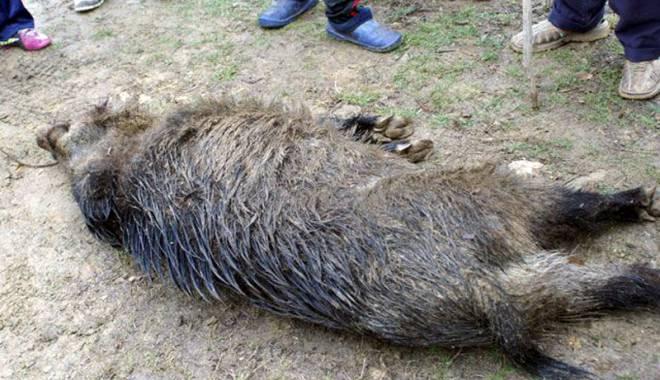 La vânătoare ilegală de mistreți! - lavanatoaredemistreti-1431363967.jpg