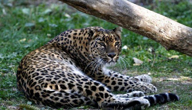 Foto: Un leopard a ucis un călugăr budist care medita în India