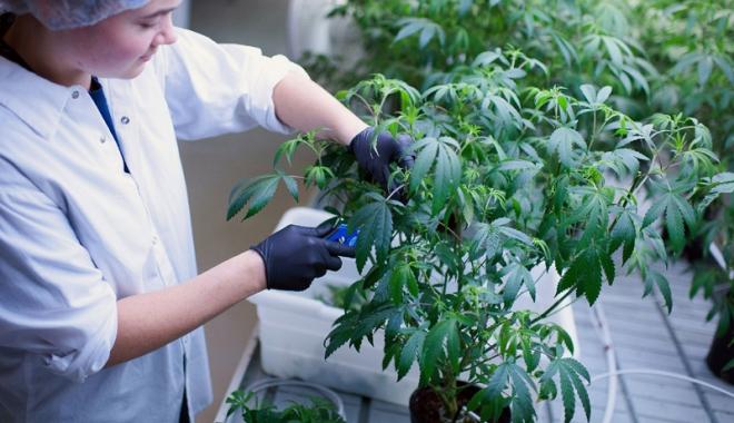 Foto: Marijuana devine legală  şi în scop recreaţional