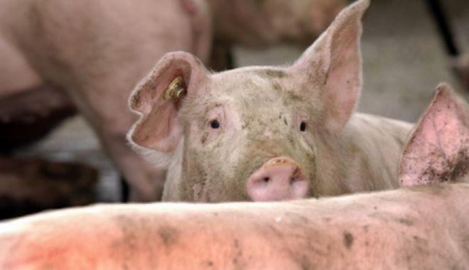 Foto: Alertă: Pesta porcină, confirmată pe teritoriul României