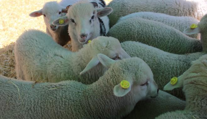 Foto: Când se află suma pe care crescătorii de oi şi capre o iau pentru animalele lor