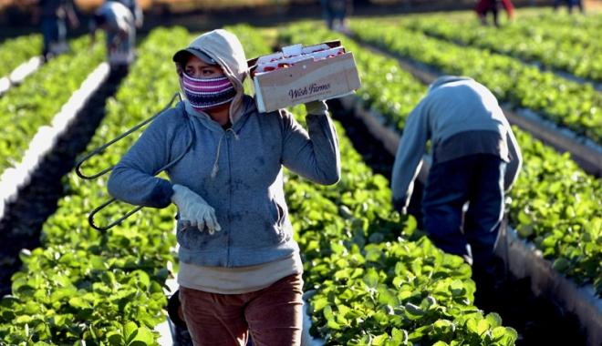 Foto: Joburi în străinătate.  Bucătarii şi culegătorii  de zmeură, la mare căutare