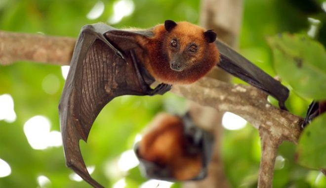 Foto: Nipah, virusul foarte periculos care se transmite de la lilieci. 10 oameni au murit deja!