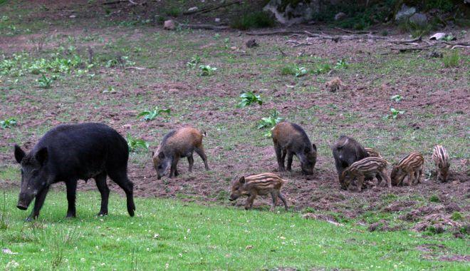 Număr crescut de focare de pestă porcină în toată ţara - numarcrescut-1627056860.jpg