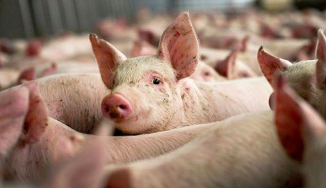 Foto: Prezența virusului pestei porcine africane, confirmată în jud. Alba