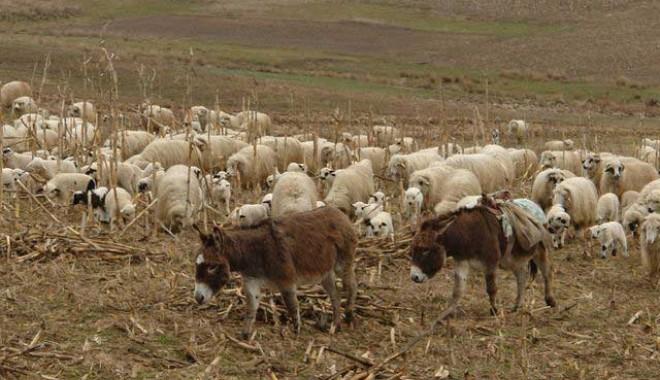 Foto: Turmă cu peste 80 de oi, furată de pe păşunea din Seimenii Mari