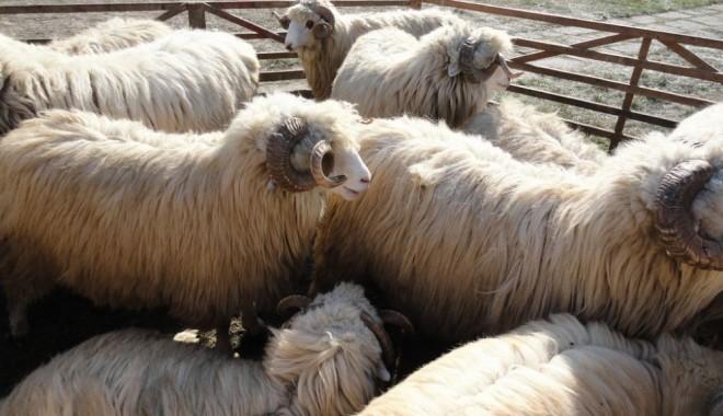 Foto: O nouă perioadă de depunere a cererilor de sprijin acordat crescătorilor de oi şi capre
