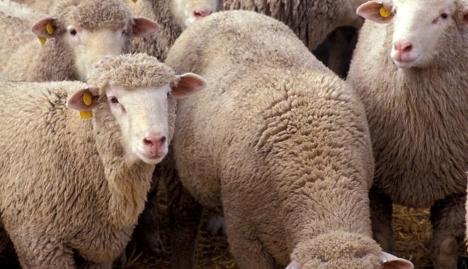 Foto: A fost reluat exportul de ovine și bovine către Israel
