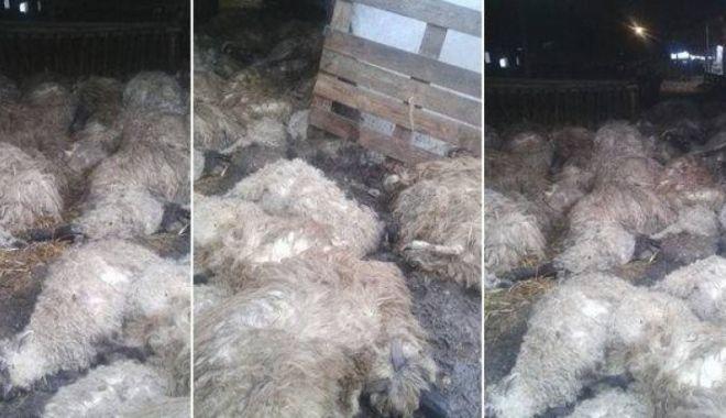 Foto: Caz șocant: Sute de oi au murit sufocate după atacul unor animale sălbatice
