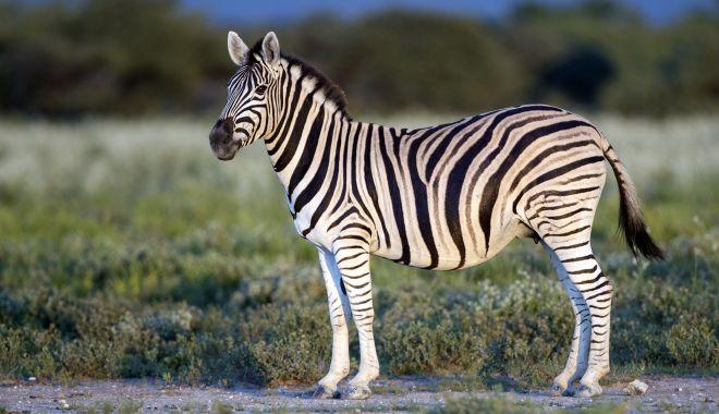 O tânără zebră evadează - otanarazebraevadeaza-1623594263.jpg