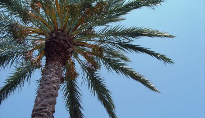 Foto: Palmierii furați din parcul din Eforie, găsiți de polițiști