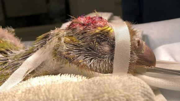 Foto: Intervenție medicală istorică. Un papagal pe cale de dispariție a fost operat pe creier