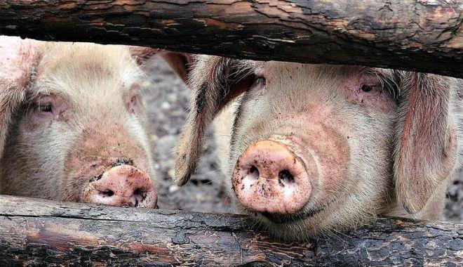 Stare de urgență la granița României. Autoritățile din Bulgaria în alertă din cauza pestei porcine africane - pesta-1564671514.jpg