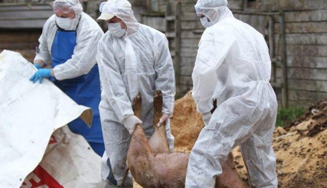 Pesta porcină, confirmată la TEBU Brăila, cea mai mare fermă din România şi a doua din Europa. 140.000 de porci vor fi eutanasiaţi