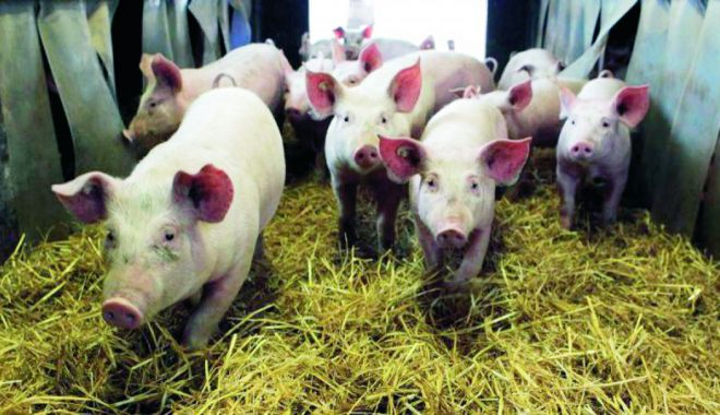 """Foto: Focare de pestă porcină în 10 localități din Constanța. """"Este un pericol real acest virus"""""""