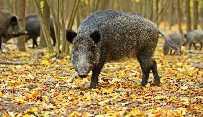 Pesta porcină, prezentă în mai multe judeţe - pestaporcina-1604847956.jpg
