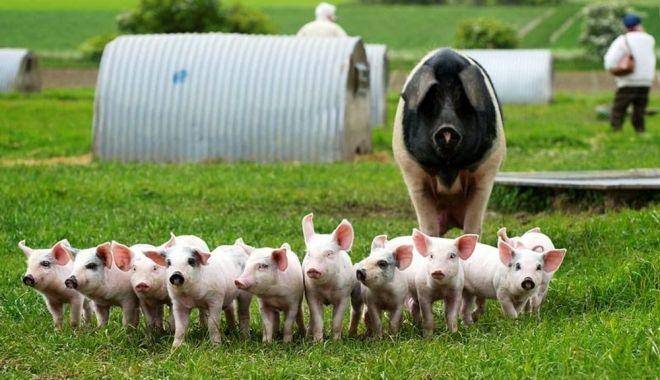 Pesta porcină africană dă bătăi de cap crescătorilor de suine - pestaporcina-1620142220.jpg