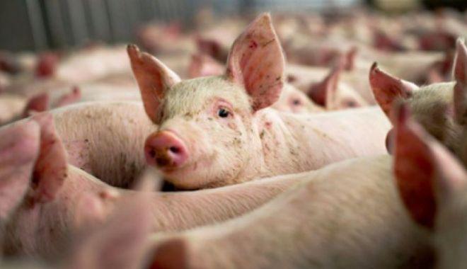 Foto: Pesta porcină africană, confirmată într-o gospodărie din județul Constanța