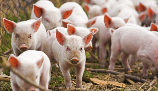 Foto: China a sacrificat 40.000 de porci în prima lună de la primul focar de pestă porcină africană