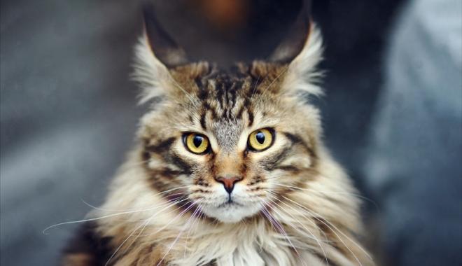 Foto: Expoziţie la VIVO! Cele mai frumoase pisici intră  în competiţie
