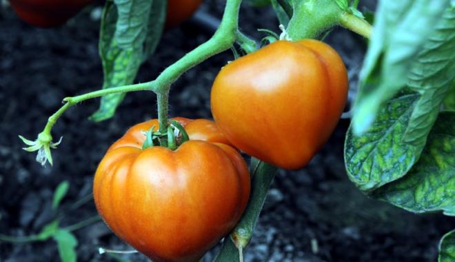 Foto: Plăţi pentru cultivatorii de tomate
