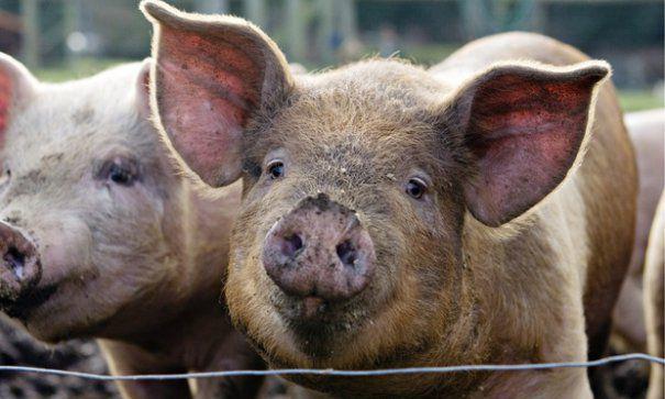 Foto: Bulgaria a raportat primul caz de pestă porcină, într-o gospodărie din apropierea graniţei cu România