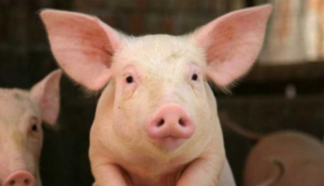 Foto: ALERTĂ în România, din cauza pestei porcine. ANSVSA a confirmat primul focar