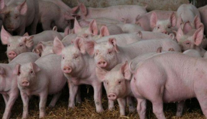 Foto: Cioloş: Guvernul a scăpat complet de sub control răspândirea pestei porcine africane