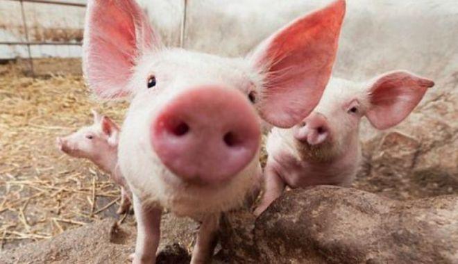 Foto: Pestă porcină în două ferme. Peste 12.000 de porci vor fi omorâți