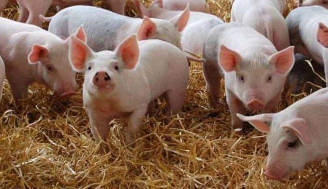 ANSVSA NU interzice şi NU limitează creşterea porcilor în gospodării - porcipestaporcina1513x867-1627811159.jpg