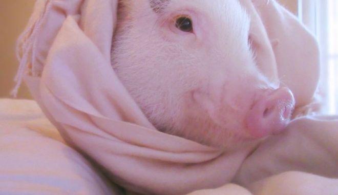 """Foto: """"Povestea porcului"""" se joacă  în Ţara Piticilor"""