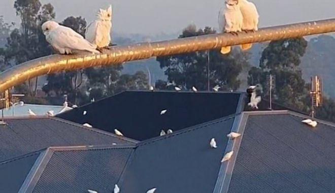 Daily Mail: Moment bizar în Australia. Mii de păsări iau cu asalt o suburbie - poza-1619684561.jpg