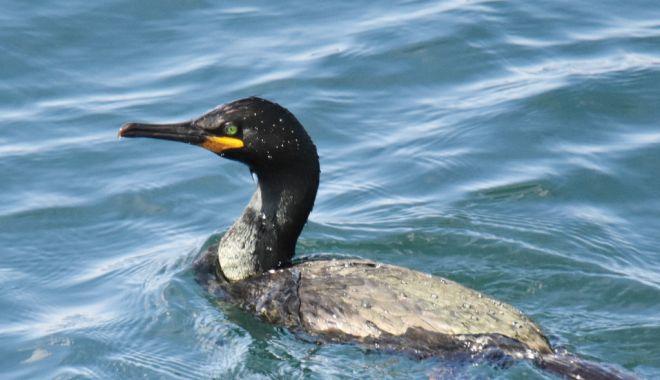 Foto: Cuib inedit la malul mării. Cormorani moţaţi, în Portul Constanţa
