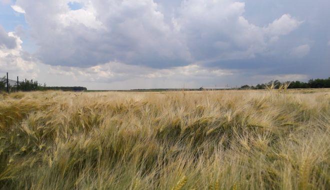Preţurile la grâu şi porumb, în scădere - preturilelagrau-1623682581.jpg